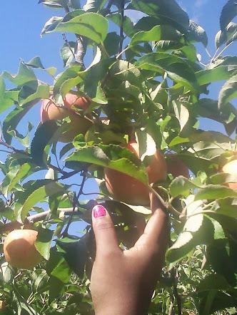 Apple Picking Farm in Saratoga County